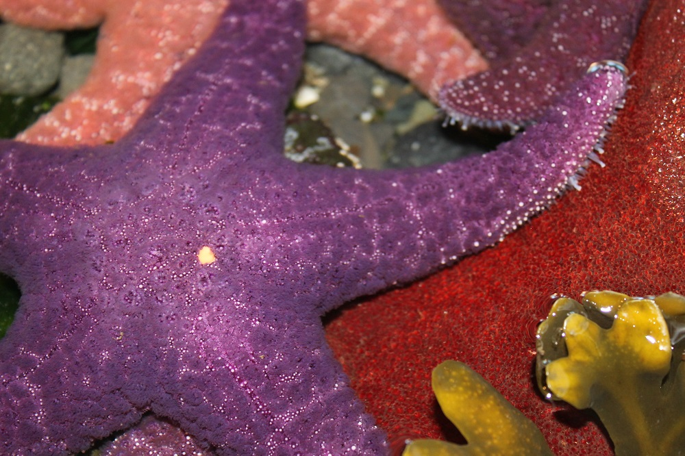 Ocher starfish spawn during the months of May, June and July. The males and females spend these months in deeper ocean waters where they release sperm and eggs into the sea. A large female may broadcast as many as 40 million eggs during the spawn.