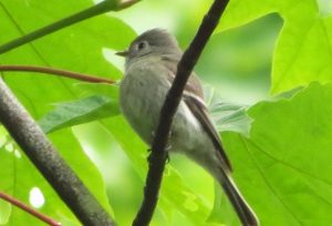 Olive Sided Flycatcher, Open Field Birds, Vancouver Island, BC Coastal Region, Pacific Northwest
