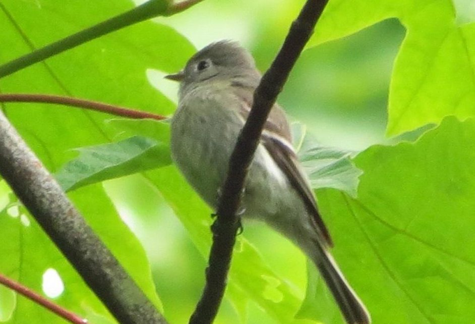 The olive sided flycatcher is a summer visitor to BC Coastal Region arriving from mid may and staying until the end of august.