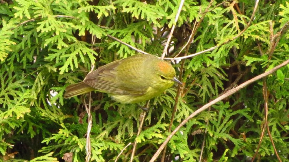 The orange crowned warbler will often forage low in vegetation, but will forage at all heights. They clamber and flit through vegetation, gleaning insects from flowers, leaves, and tips of branches.