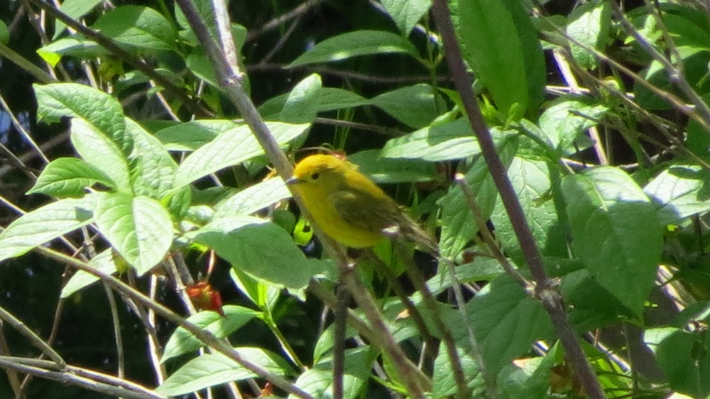 Orange crowned warblers often forage low in vegetation, but will forage at all heights. They clamber and flit through vegetation, gleaning insects from flowers, leaves, and tips of branches