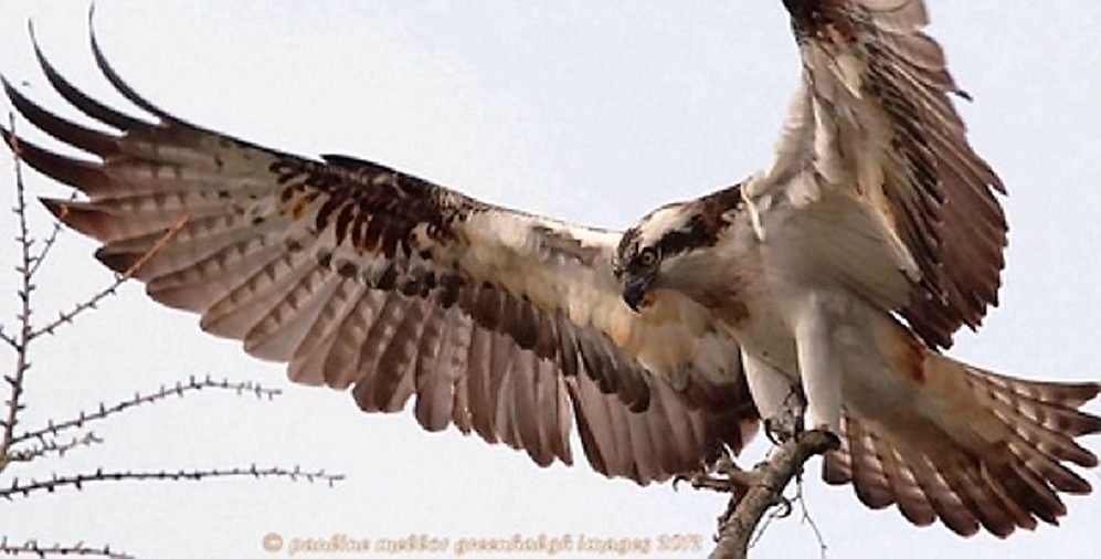 The osprey can reach 60 cm in length. It is found on all continents except Antarctica. The osprey has a diet primarily made up of fish and they are known as the sea hawk.