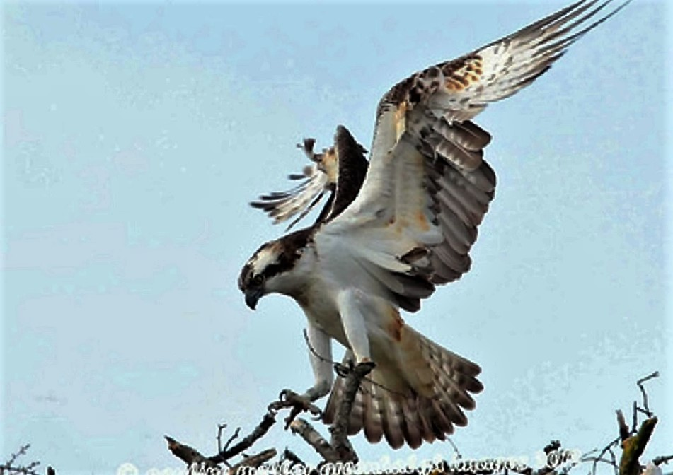 The Osprey arrive on the coast in the first weeks of April and they have left for their winter grounds by the end of October. They nest near lakes, marshes and along the ocean shores.