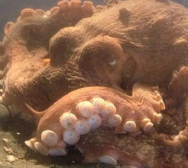 The Pacific Octopus is a saltwater fish