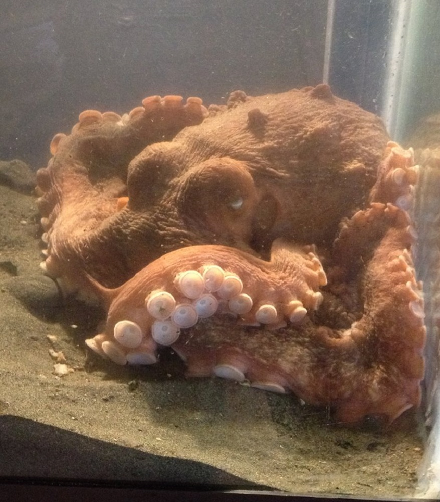 The pacific octopus has a very sensitive sense of touch with its suckers. The edge of the cups are the most sensitive.