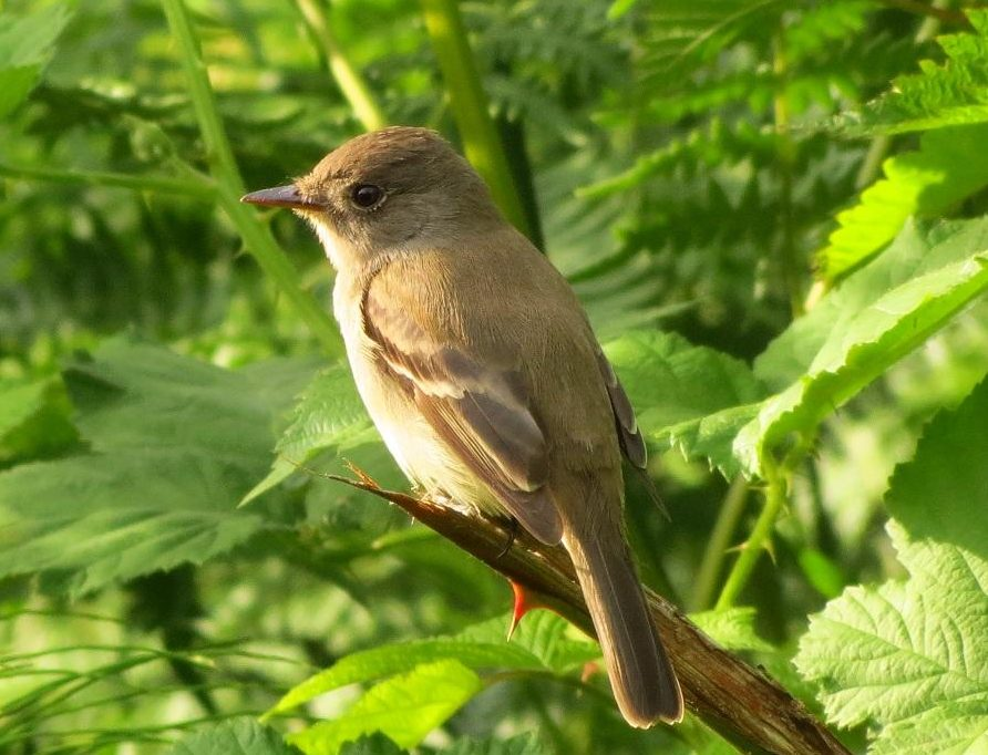 Pacific Slope Flycatcher, Vancouver Island, BC
