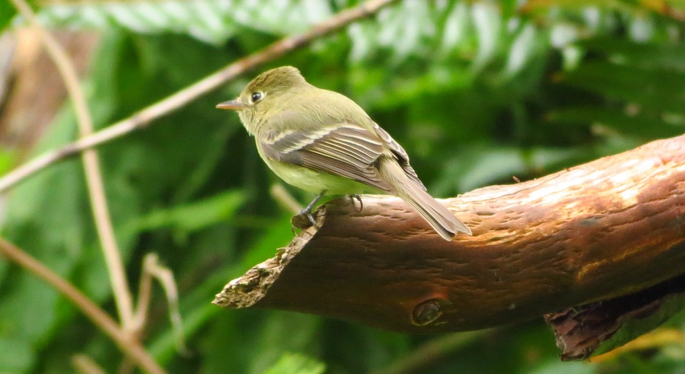 Pacific slope flycatchers are up to 15 cm long and are olive green above. They have 2 white wing bars and a very bold eye ring. Their underparts are light with a yellowish twinge.