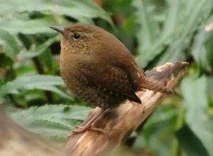 The pacific wren lives on a diet of insects, spiders, small beetles, crane flies, mosquitoes, ants, aphids, and spiders. It also eats the pupae of butterflies and moths. They also eat snails, slugs, and an occasional small fish or moth.