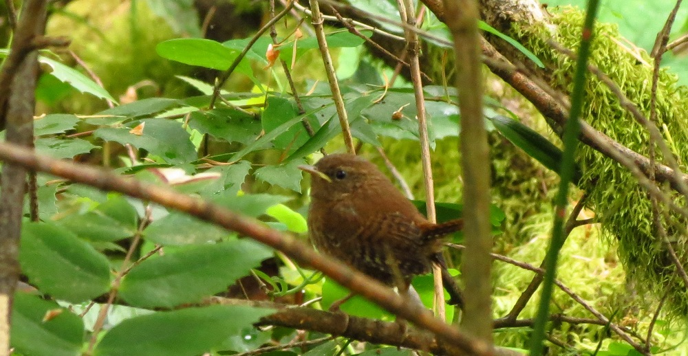 The pacific wren lives in the woods and bushy areas as well as rocky areas and open marshes. It is a remarkable bird in that it can adapt to any environment that has plenty of thick plants and vegetation. They are, however, more common in the country than in urban areas.