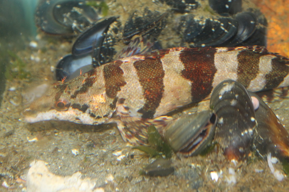 The painted greenling has a varied diet consisting of crustaceans, and small mollusks along with other types of bottom dwellers.
