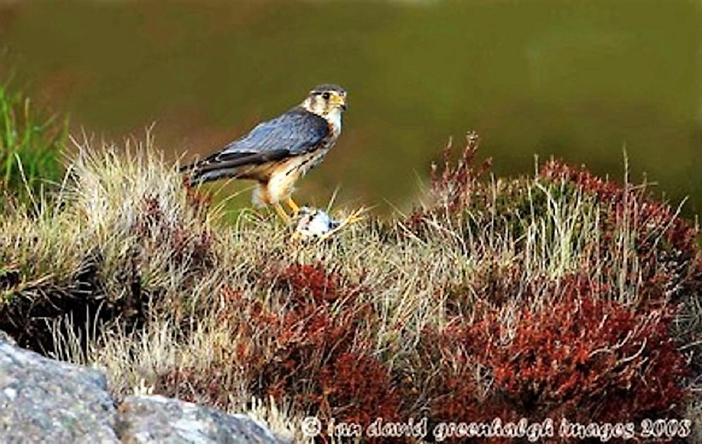 The peregrine falcon is found on every continent except Antarctica, and lives in a wide variety of habitats from tropical, deserts, and maritime to the tundra, and from sea level to 3,500 meters.