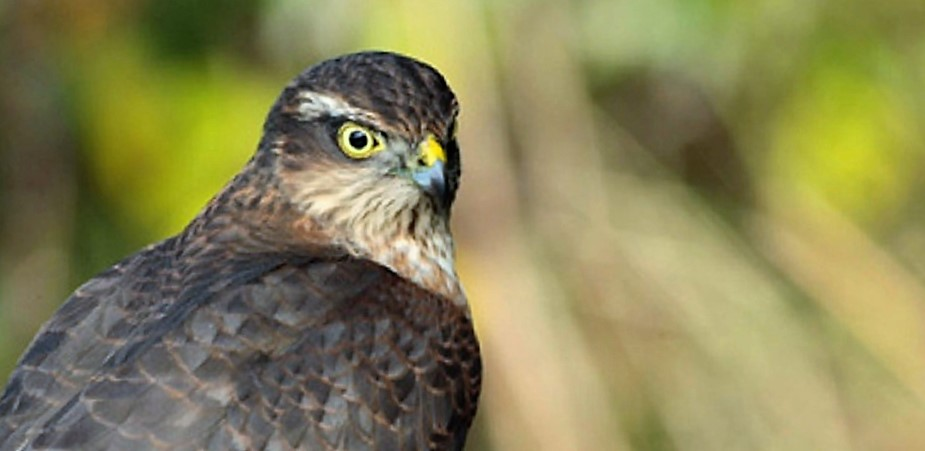 The peregrine falcon can be found on all parts of the coast and can be seen at the forest edge and atop utility poles at the edge of the road.