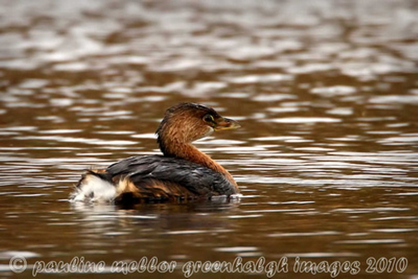 Pied billed grebe nests are normally floating structures placed in marsh vegetation or anchored to logs, dead trees, and isolated marshy islets.