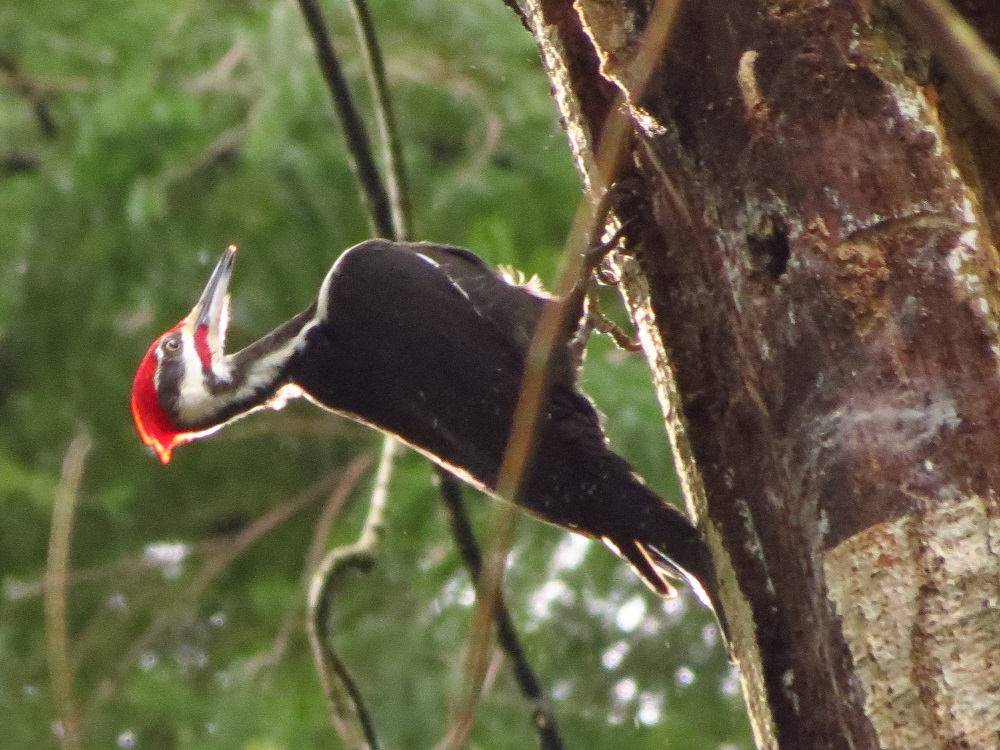 Pileated woodpeckers mate for life. A pair stays together throughout the whole year. They are territorial and tend to stay in their established territory for long periods of time.