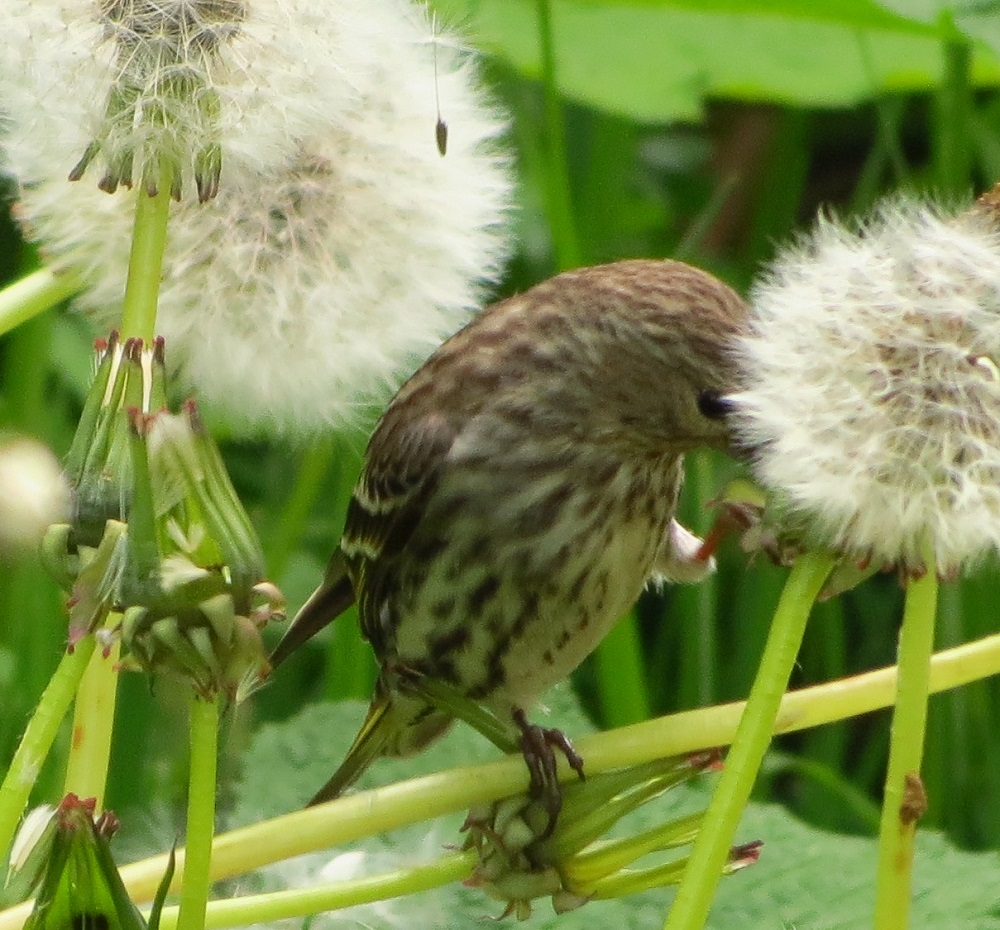 The mating and breeding habits of the pine siskin is unlike most other birds which depend on the season. Their reproductive activities are more closely linked with the food supply available. If there is abundant food then this bird will start breeding.