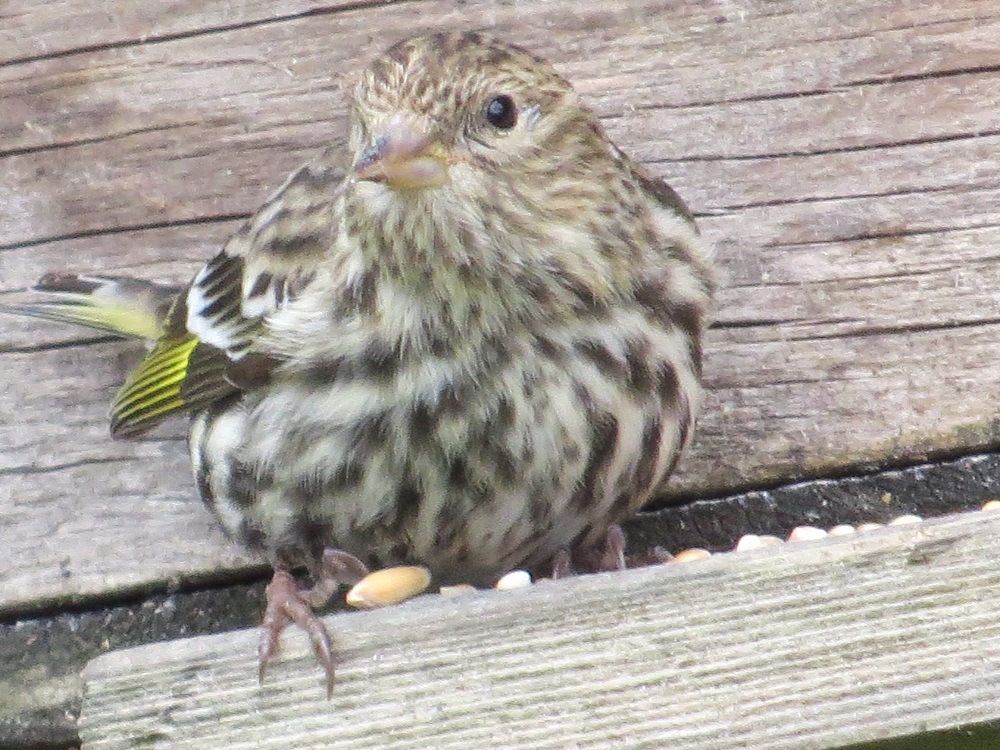 The male and female pine siskin look alike. The males usually have more yellow markings, though. The immature pine siskin is similar to the adult bird as well.