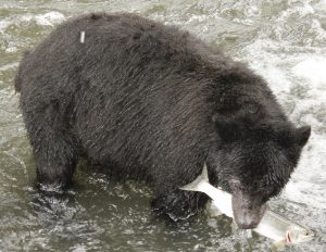 We like to head down to our island rivers in the fall, when the pink salmon spawn, to watch the bears fish, the Quinsam River just out of Campbell River has plenty of bears.