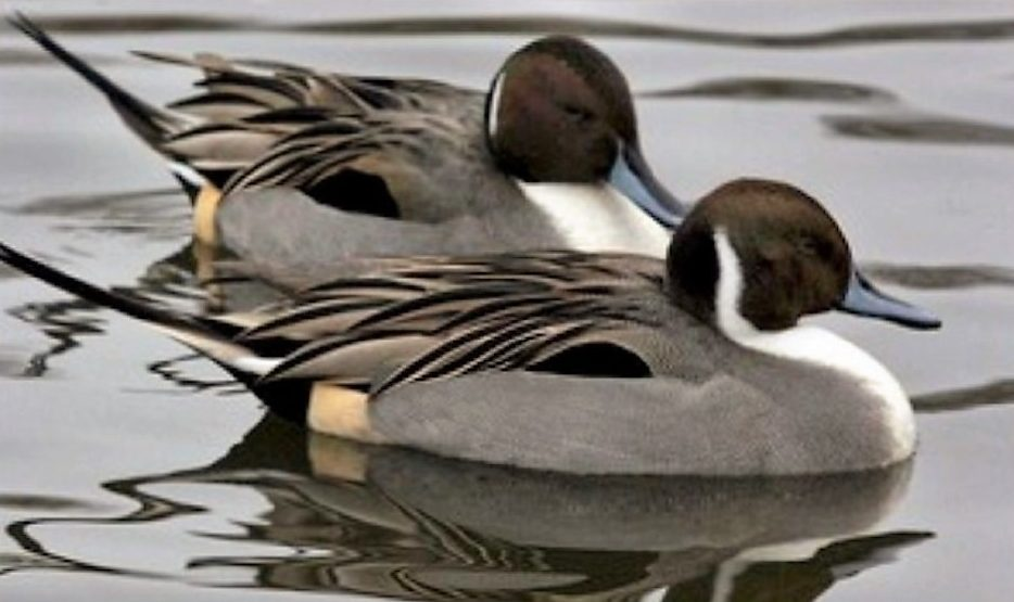 Northern Pintail Ducks, Vancouver Island, BC