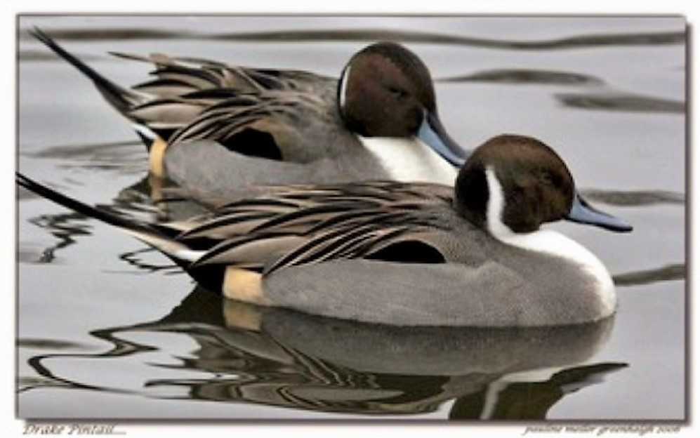 The Northern Pintail Duck is a common duck that is found over all of North America. In the west they breed from Alaska to California, they migrate to the pacific coast in the winter.
