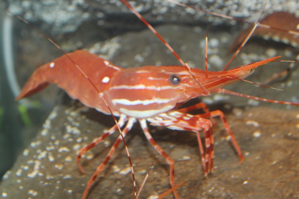 The prawn is a male during its first, second and sometimes the third years, then changes sex in the third or fourth year. Eggs are found on females from October to March.