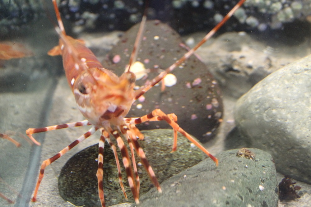 The prawn ranges throughout the northern Pacific from Alaska to San Diego, California, and from the Sea of Japan to Korea Strait.