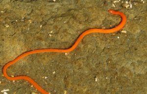 Ribbon Worm, Marine Worms, Fish, Vancouver Island, BC Coastal Region, Pacific Northwest