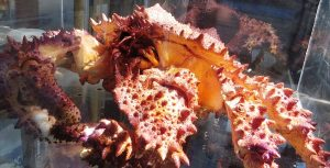 Look for the Puget Sound King Crab at the inter tidal area at low tide, you might get lucky and see one but you are more likely to see them from 30 meters to around 140 meters deep.