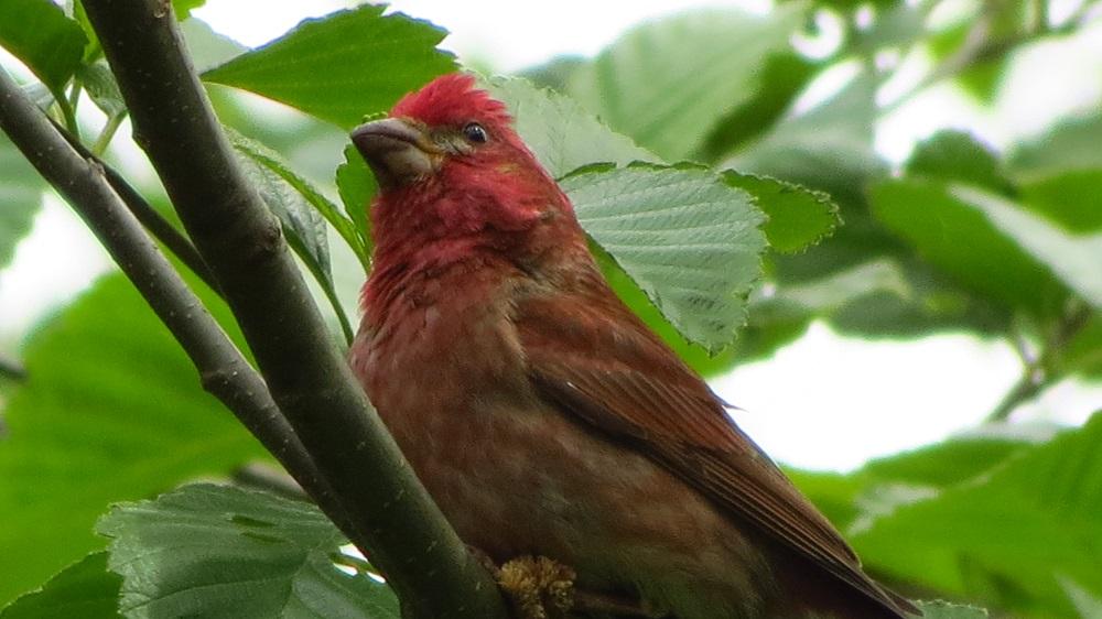 Purple Finch, Vancouver Island, BC