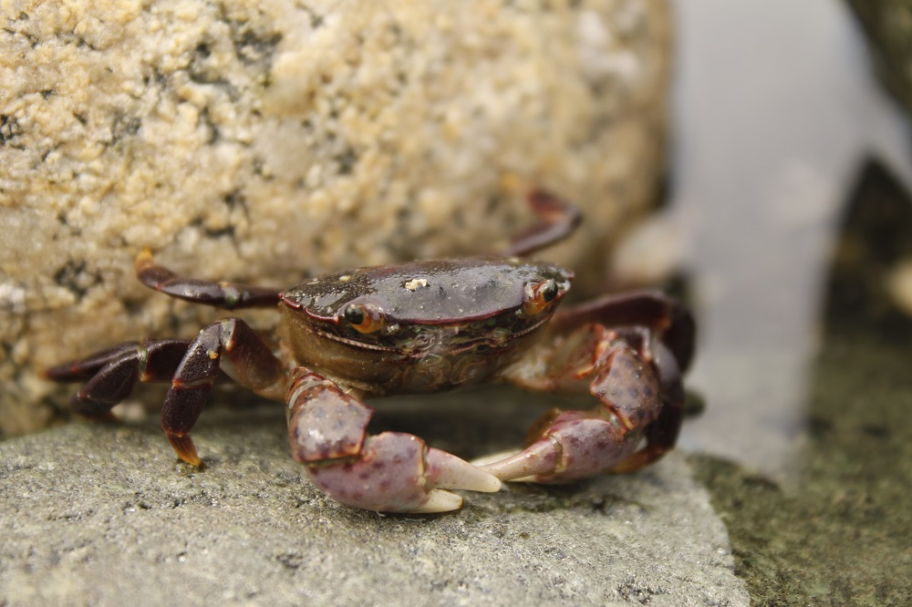 Purple shore crabs live in the shallow inter tidal waters of the BC coastal region. They can be found in water less than 1 meter deep. They prefer rocky coastlines where they can hide under the rocks.