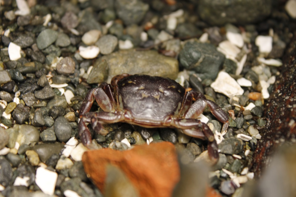 The purple shore crab can be found under stones and among seaweeds on all the shores of pacific northwest Coastal Region, this crab is the first crab that most children learn about