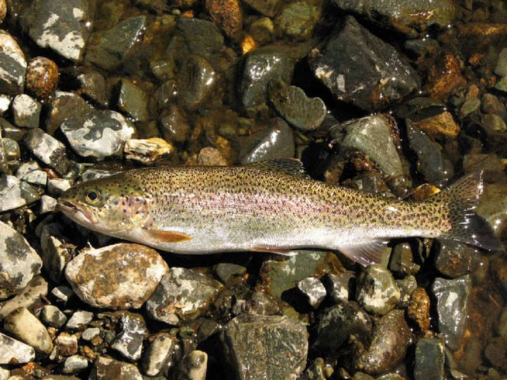 The pacific northwest region has an abundance of rainbow trout in its rivers and lakes. I have fished over most of the coast over the years and I find that the rainbow trout is by far the best fighter of them all. They like fast running cold streams.