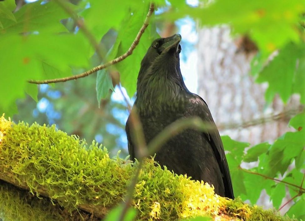 Walking out in the forests of the BC Coastal Region You get to see the Large Land Birds. The ravens, crows, quails, grouse and pheasants. These are the Large Land Birds that live on or visit our coast.