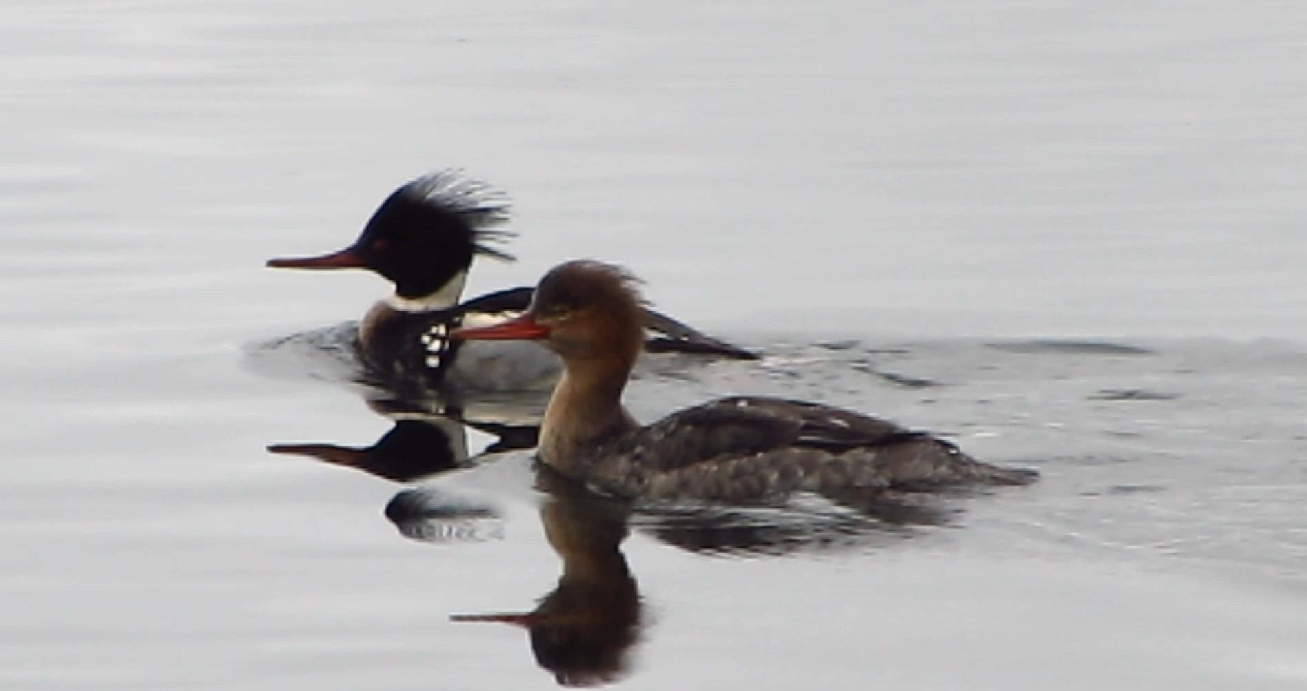 Red Breasted Merganser Ducks Of The Pacific Northwest