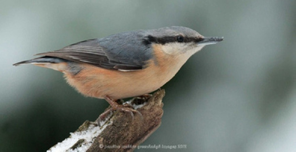 Red breasted nuthatches are monogamous and usually mate in spring. Mating is initiated by the female.