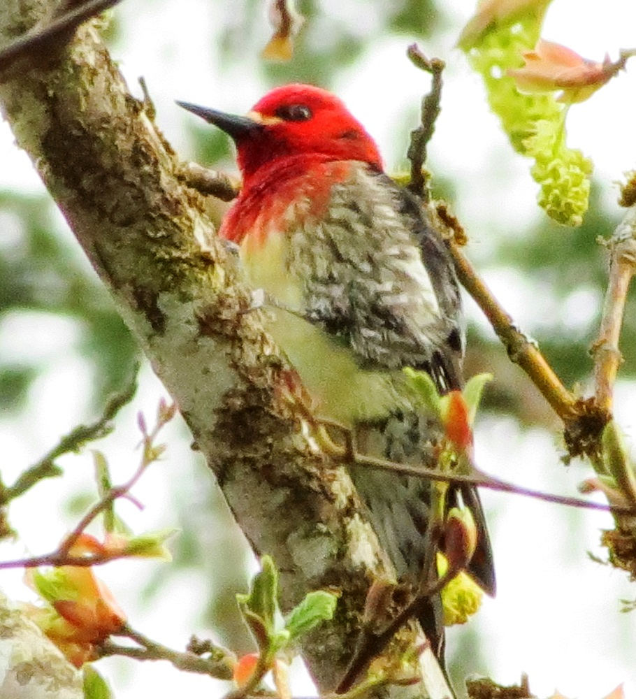 The red breasted sapsucker is native to the coastal mountains of western North America, dwelling in mixed forests from Alaska to Mexico.