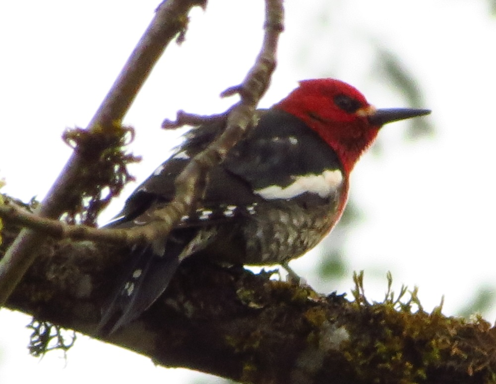 The red breasted sapsucker is native to the coastal mountains of western North America, dwelling in mixed forests from Alaska to Mexico. Vancouver Island has a large stable population.