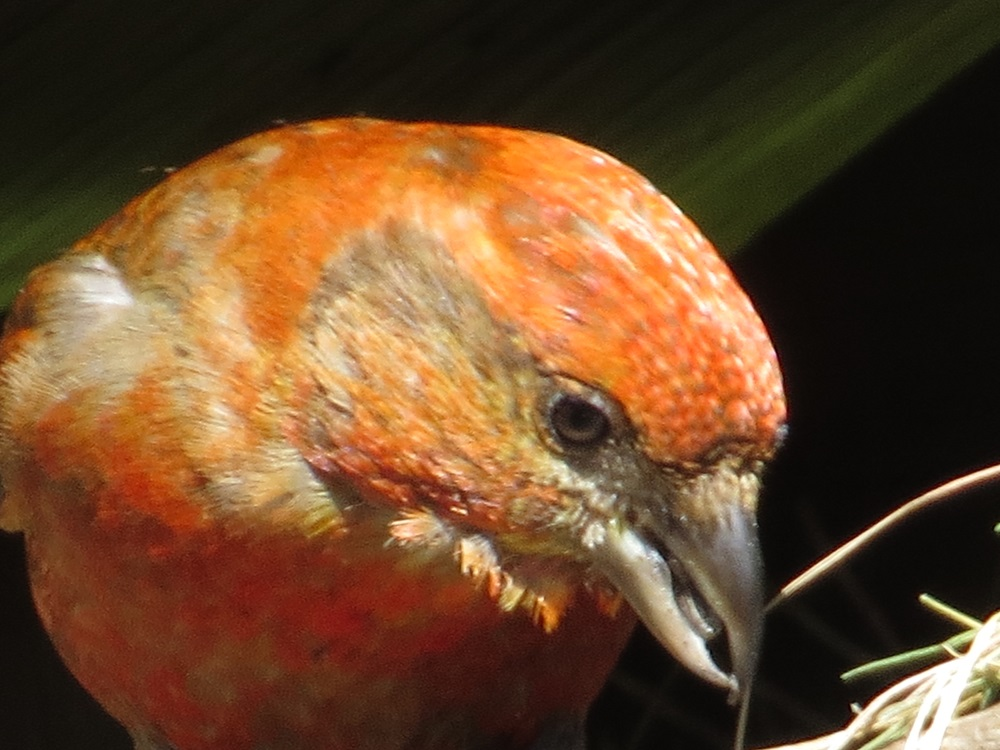 The Red Crossbill may move out of their home range when food is scarce. When this occurs, they may breed in areas far south or west of their normal range.