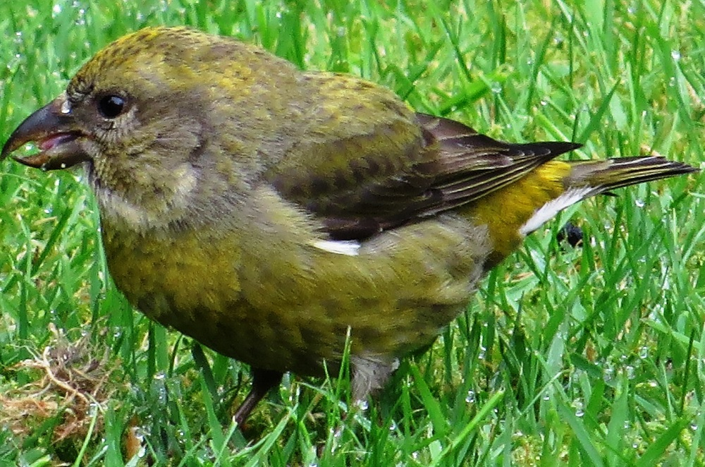 The female red crossbill is olive green above and yellowish green below. The forehead, crown, nape and back are mottled with dusky brown