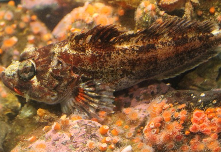 The body of the red Irish lord is mostly red, with white, brown and black mottling. It has a large head and bulging eyes.