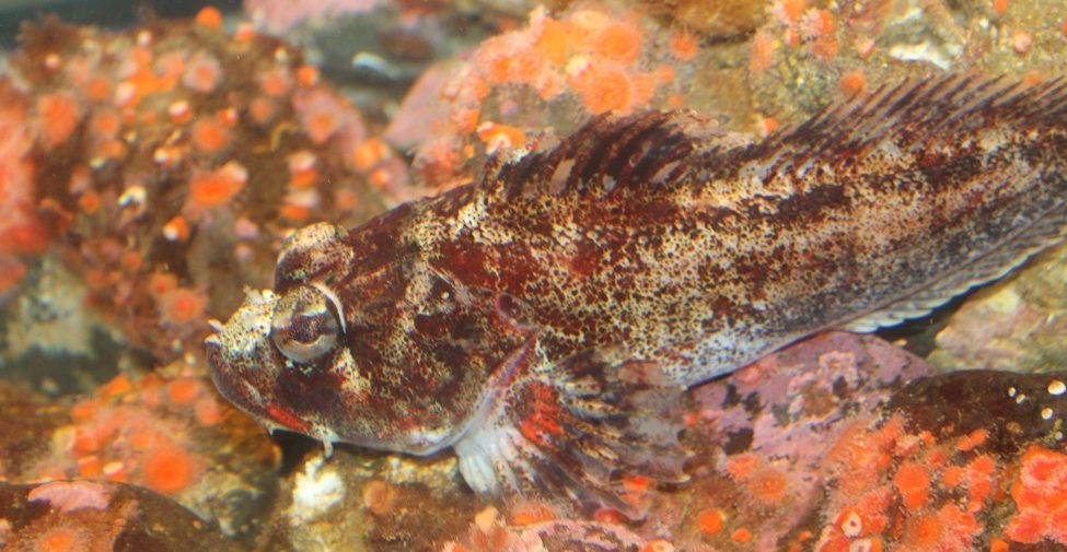 The Red Irish Lord, Saltwater Fish, Pacific Northwest