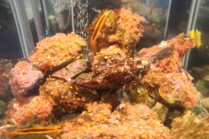 The Red Irish Lord is a thickly built saltwater fish with an long, wide body, very large head and a big mouth