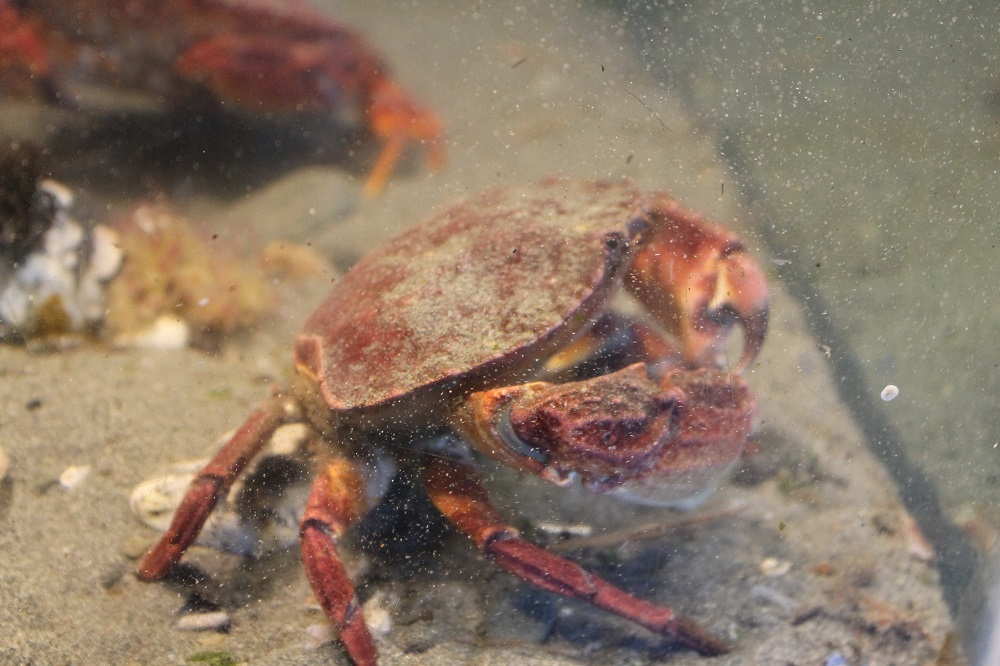 Red rock crabs, also called red crab or rock crab, is a close relative to the Dungeness crab.
