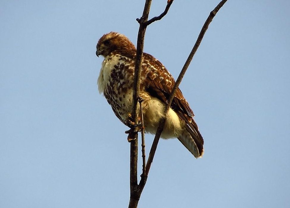 The red tailed hawk is an opportunistic feeder with its diet consisting mainly of small rodents. They also like to eat birds, reptiles, insects, and crayfish.