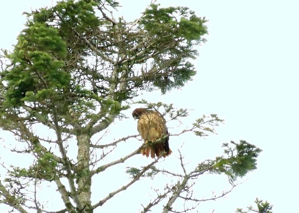Red Tailed Hawk, BC