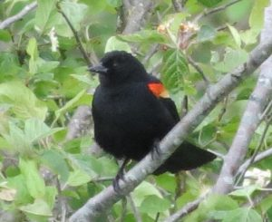 The red winged blackbird heralds in the spring with their beautiful song. They arrive early on the south coast and sometimes they need to hang out at my feeders for a week or two as they wait for the snow to melt up on the ponds.