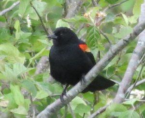 Red Winged Blackbird, Open Field Birds, Vancouver Island, BC Coastal Region, Pacific Northwest