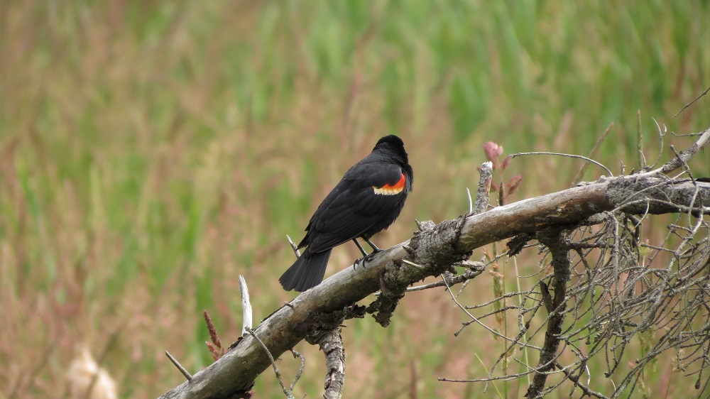 The BC Coastal Region has a permanent population of red winged blackbirds but their numbers increase in the spring as migratory birds arrive from their wintering grounds.