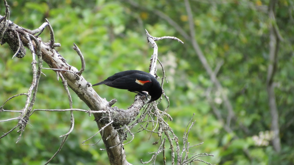 Red Winged Blackbirds will breed colonially, but that may be more as a result of patchy breeding habitats than a communal need.