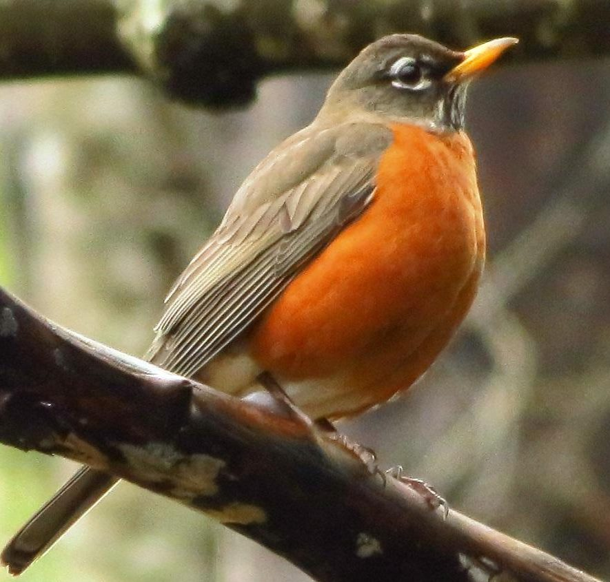 The American Robin can be found throughout North America. Male robins have a dark gray to almost black back and tail with a rusty red colored breast.