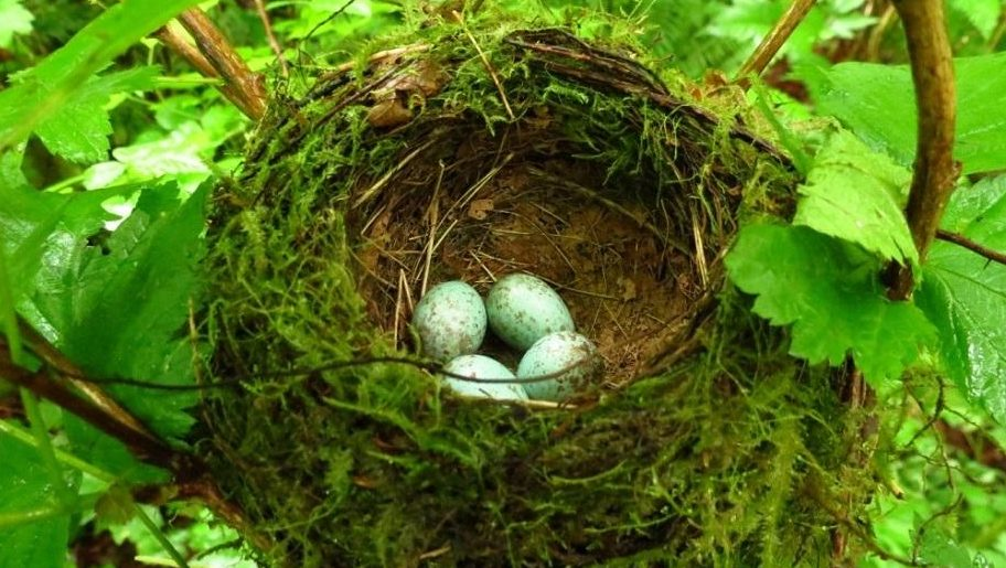 American Robins typically nest April through May and can have two or even three broods in a season.